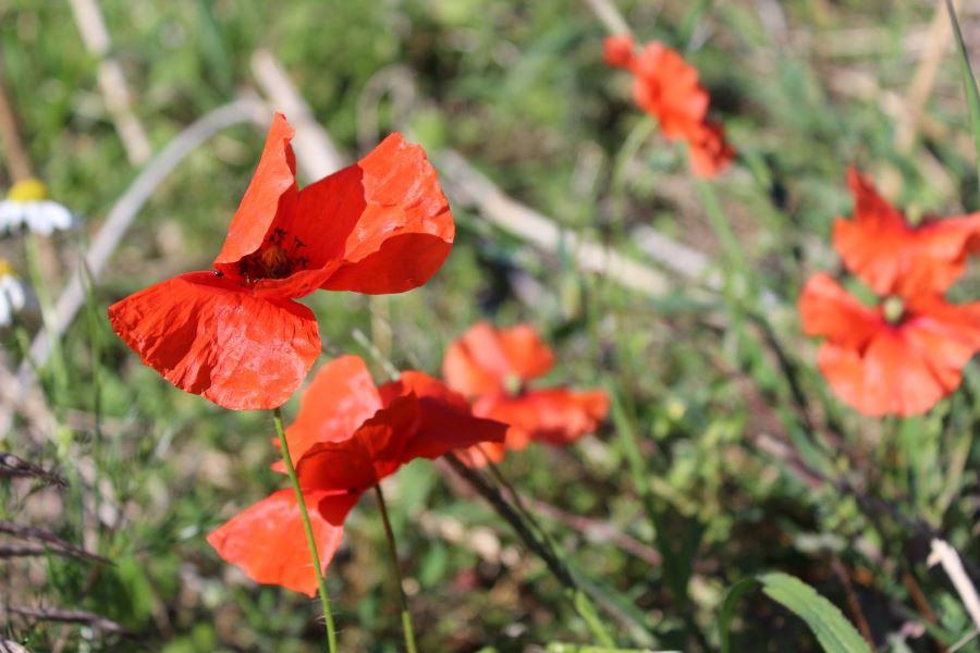 Anti-Cellulite-Öl aus Mohnblüten selber machen (3)